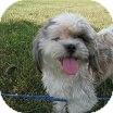 Shih Tzu Puppy for adoption in Indianapolis, Indiana - Emilie