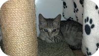 Domestic Shorthair Kitten for adoption in Tampa, Florida - Tatius