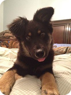 German Shepherd Dog Mix Puppy for adoption in Columbus, Ohio - Niles- Adoption Pending