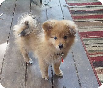 Pomeranian Puppy for adoption in conroe, Texas - Boston