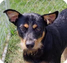 Australian Cattle Dog Mix Dog for adoption in Sidney, Ohio - Dundee