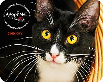 Domestic Mediumhair Kitten for adoption in Phoenix, Arizona - Cherry