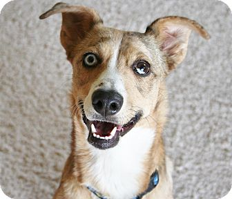 Australian Shepherd/Sheltie, Shetland Sheepdog Mix Dog for adoption in Scottsdale, Arizona - Darla