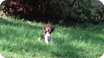 Beagle/Basset Hound Mix Puppy for adoption in Cincinnati, Ohio - Leslie