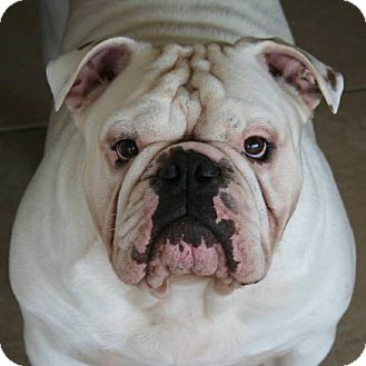 English Bulldog Dog for adoption in St. Petersburg, Florida - Casper - special case, see inf