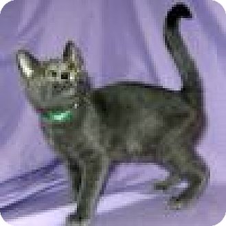 Domestic Shorthair Cat for adoption in Powell, Ohio - Grady