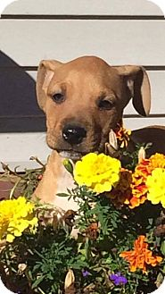 Chihuahua/Miniature Pinscher Mix Puppy for adoption in Garden City, Michigan - Doc Brown