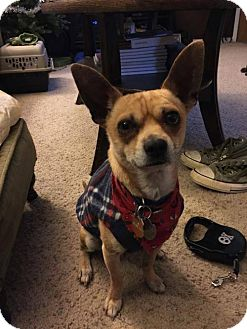 Chihuahua Dog for adoption in Odessa, Texas - Buster