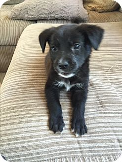 Maltese/Poodle (Miniature) Mix Puppy for adoption in KITTERY, Maine - STORMY