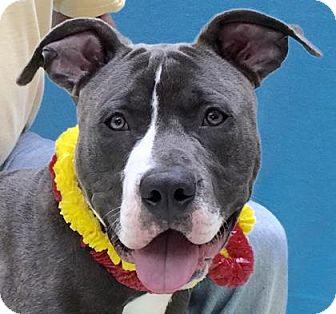 American Staffordshire Terrier Mix Dog for adoption in Evansville, Indiana - Blue