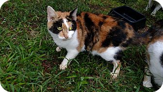 Domestic Shorthair Cat for adoption in Carthage, North Carolina - Lorelei