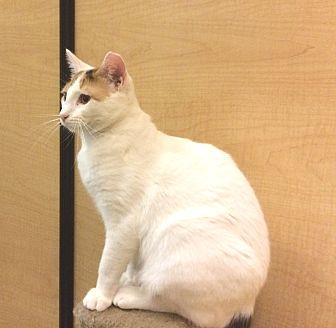 Domestic Shorthair Kitten for adoption in Bulverde, Texas - Coconut