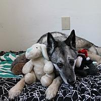 German Shepherd Dog/Husky Mix Dog for adoption in Petaluma, California - Hannah