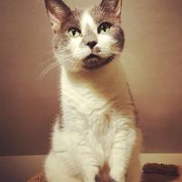 Domestic Shorthair/Domestic Shorthair Mix Cat for adoption in Hastings, Minnesota - Bitsy