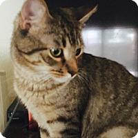 Adopt A Pet :: Bentley - McKinney, TX