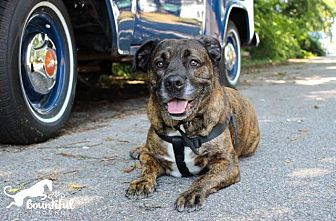 American Bulldog/Pit Bull Terrier Mix Dog for adoption in Leonardtown, Maryland - Miko