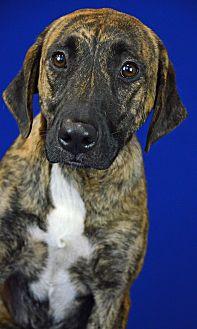 Plott Hound/Hound (Unknown Type) Mix Dog for adoption in LAFAYETTE, Louisiana - CHAMPERS