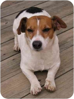 Jack Russell Terrier Dog for adoption in Thomasville, North Carolina - Bo