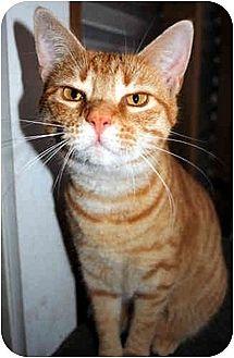 Domestic Shorthair Cat for adoption in Thibodaux, Louisiana - Scarlett FE1-7522