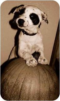 Border Collie Mix Puppy for adoption in Denver, Colorado - Krosby