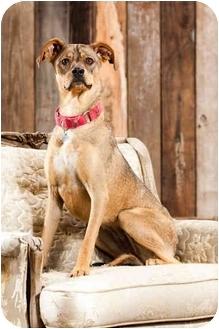 German Shepherd Dog/Shar Pei Mix Dog for adoption in Portland, Oregon - Quetee
