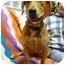 Photo 3 - Labrador Retriever/Basset Hound Mix Dog for adoption in Portsmouth, Rhode Island - Journey
