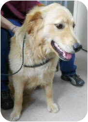 Golden Retriever/Golden Retriever Mix Dog for adoption in Avon, New York - Campbell