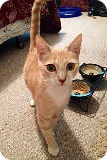 Domestic Shorthair Cat for adoption in Vero Beach, Florida - Princess Buttercup