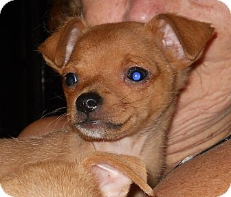Chihuahua Puppy for adoption in springtown, Texas - Bugsy