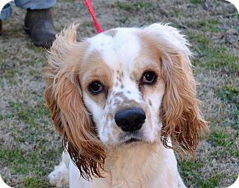 Cocker Spaniel/Spaniel (Unknown Type) Mix Dog for adoption in Searcy, Arkansas - Evan