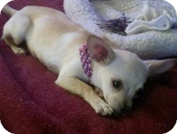 Chihuahua Mix Puppy for adoption in Mesa, Arizona - Baby Girl