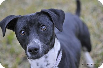 Pointer/Labrador Retriever Mix Dog for adoption in Norwalk, Connecticut - Belle - sweet