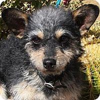 Adopt A Pet :: Charly - Gilbert, AZ