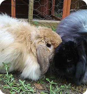 American Fuzzy Lop Mix for adoption in Williston, Florida - Larry and Georgia