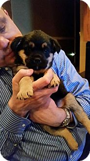 Shepherd (Unknown Type) Mix Puppy for adoption in Orland Park, Illinois - Puddles