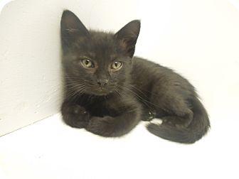 Domestic Shorthair Kitten for adoption in Medina, Ohio - Bo