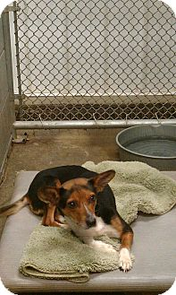 Terrier (Unknown Type, Medium)/Chihuahua Mix Dog for adoption in Greenville, Kentucky - Pookie