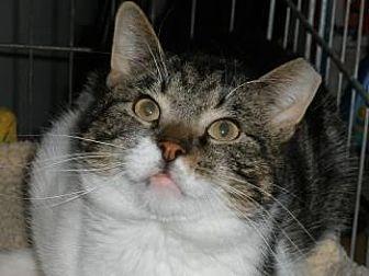 Domestic Shorthair Cat for adoption in Marlboro, New Jersey - Martin