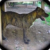 Adopt A Pet :: Gumbo - Ijamsville, MD