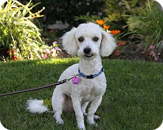 Poodle (Miniature) Mix Dog for adoption in Newport Beach, California - JIMMY
