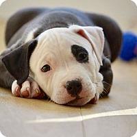 Adopt A Pet :: Dasher - Mission Viejo, CA