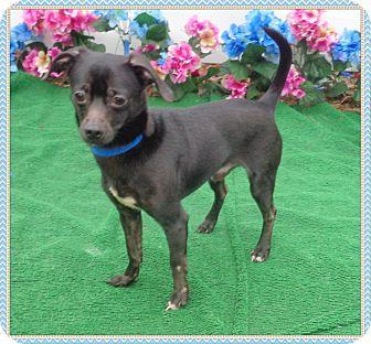 Chihuahua Dog for adoption in Marietta, Georgia - TONY