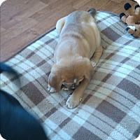 Adopt A Pet :: Golde - Treton, ON
