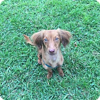 Adopt A Pet :: STELLA - Hollywood, FL