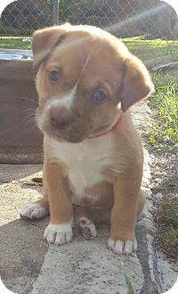 Labrador Retriever Mix Puppy for adoption in Mobile, Alabama - Red