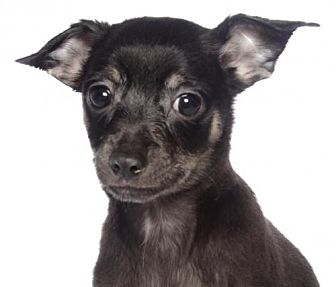 Chihuahua Puppy for adoption in Fort Lauderdale, Florida - Paul