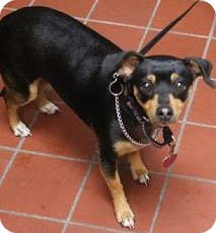 Miniature Pinscher Mix Dog for adoption in Daytona Beach, Florida - Millie