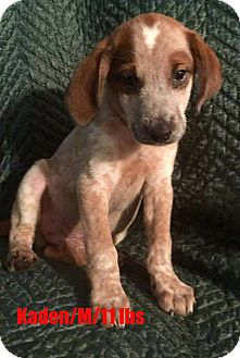 Australian Cattle Dog/Pointer Mix Puppy for adoption in North Brunswick, New Jersey - Kaden