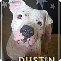 Adopt A Pet :: Dustin Hoffdog - Allen, TX