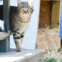 Domestic Shorthair/Domestic Shorthair Mix Cat for adoption in Indianapolis, Indiana - Outside Cats seeking Barns or Caretakers